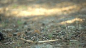 Sapata da sapatilha que encontra-se perto do cadáver, corpo coberto com o ramo de árvore, assassinato nas madeiras video estoque