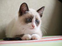 Sapato de neve da raça do gatinho, dois monthes Fotografia de Stock