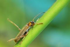 Sapeur-pompier de scarabée photographie stock libre de droits