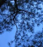 Saphir-Himmel durch Nadeln Stockfotografie