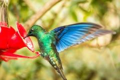 Saphire-vleugel kolibrie met uitgestrekte vleugels, tropisch bos die, Colombia, vogel naast rode voeder met suikerwater hangen, g stock foto
