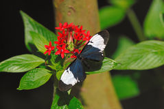 Sapho longwing. On the plant Royalty Free Stock Photography