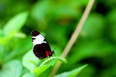 Sapho Longwing butterfly Stock Image