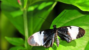 Sapho Longwing butterfly Royalty Free Stock Image