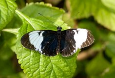 Sapho Longwing Butterfly (Heliconius sapho) stock image