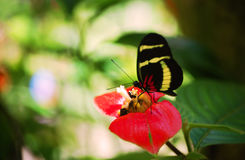 Sapho longwing butterfly. On hot lips plant flower Stock Photos