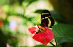 Sapho longwing fjäril Arkivfoton