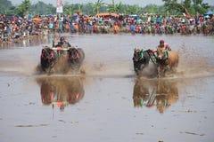 Sapi Brujul Probolinggo East Java immagini stock libere da diritti