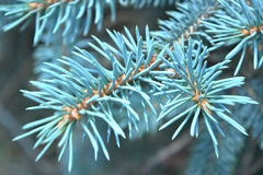 Sapin bleu Photo stock