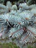 Sapin bleu images stock