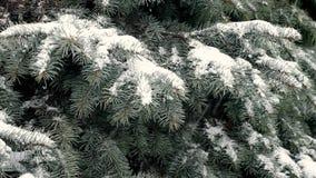 Sapin bleu couvert de neige pendant la tempête de neige banque de vidéos