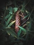 Sapin-cône sur l'herbe photo libre de droits