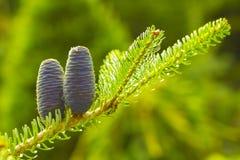 Sapin coréen, conifère avec les cônes bleus de blanche et aiguilles vert clair images stock