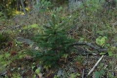 Sapin dans la forêt images libres de droits