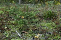 Sapin dans la forêt photo stock