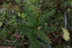 Sapin dans la forêt photographie stock libre de droits