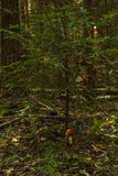 Sapin dans la forêt photos libres de droits