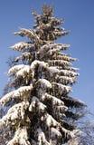 Sapin dans la neige Photos libres de droits