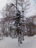 Sapin dans la neige photographie stock libre de droits