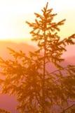 Sapin de Duoglas au coucher du soleil Images stock