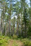 Sapin de fraîcheur d'arbres de route de canneberges de myrtille de clairière de forêt de chemin Photographie stock