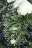Sapin de l'hiver Photographie stock libre de droits