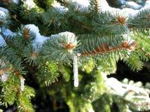 Sapin de l'hiver image libre de droits