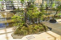 Sapin de Norvège - bonsaï dans le style de Images stock