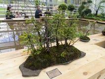 Sapin de Norvège - bonsaï dans le style de Image libre de droits