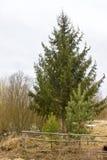 Sapin et deux pins Photographie stock