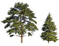 Sapin et pin Photo libre de droits