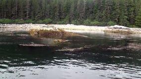 Sapin et pins sur la côte de fond de l'océan pacifique en Alaska clips vidéos