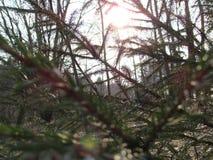 Sapin et soleil Photos libres de droits