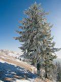 Sapin grand de l'hiver Photo stock