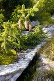 Sapin haut vers le haut en montagnes carpathiennes Photos libres de droits
