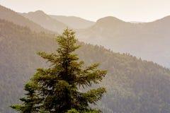 Sapin isolé dans les montagnes Photos libres de droits