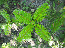 Sapin vert Photos stock