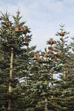 Sapins Photos stock