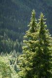 Sapins alpins avec la forêt dense Image stock