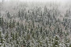 Sapins couverts dans la neige Photo stock