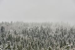 Sapins couverts dans la neige Photographie stock libre de droits