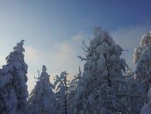 Sapins couverts dans la neige Photos libres de droits