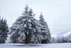 Sapins couverts dans la neige Photos stock