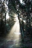 Sapins d'automne éclairés à contre-jour Photo libre de droits