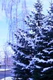 Sapins dans la neige et le bouleau Image stock