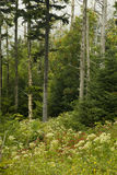 Sapins de Fraser morts, Wildflowers Photos stock