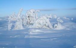 Sapins de neige Image stock