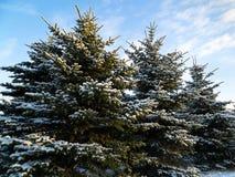 Sapins en hiver Image libre de droits
