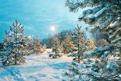 Sapins en parc de ville soirée Rybinsk Russie 2016 images stock
