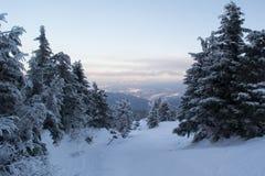 Sapins et buissons de paysage d'hiver dans la neige Photo libre de droits